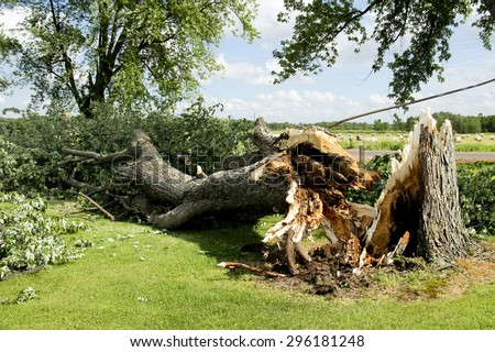 Tornado storm damage causes a large mature maple to be broken and fell on the ground - stock photo