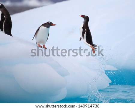 Torpedoing Gentoo Penguin - stock photo