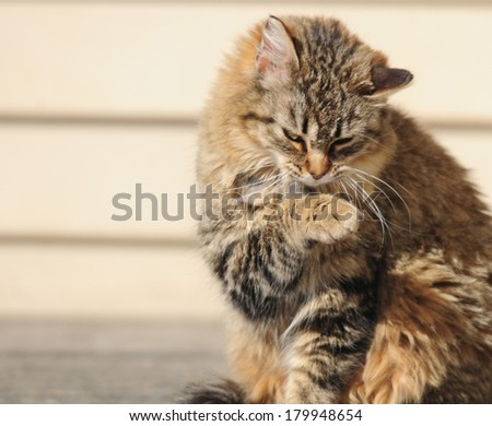 Tortie colored cat grooming itself - stock photo
