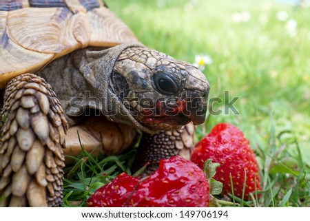Tortoise eating ripe strawberries, closeup - stock photo