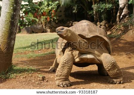 Tortoise from Mauritius - stock photo