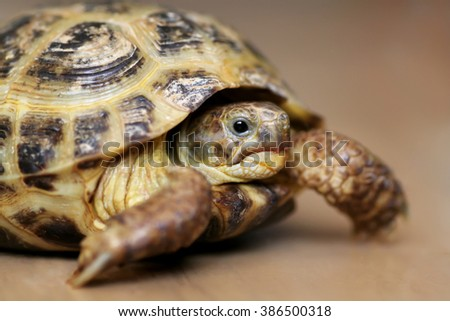 Tortoise looking at the camera. Close-up.Indoors. - stock photo