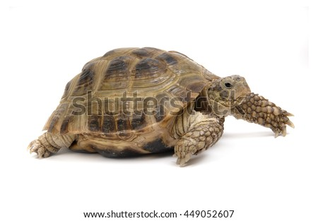 Tortoise on a white background
