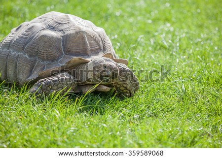 Tortoise on the grass eating