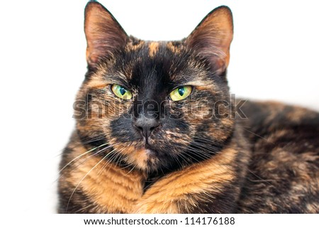 Tortoise shell cat - stock photo