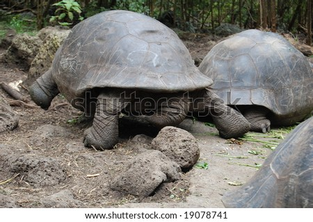 Tortoises are slow-moving reptiles. Although feeding giant tortoises browse with no apparent direction, when moving to water-holes or nesting grounds, they can move at a surprising speed. - stock photo