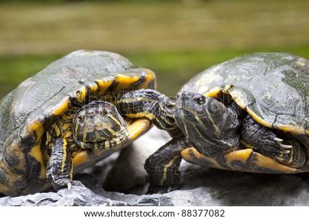 Tortoises on stone - stock photo