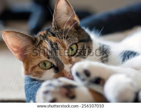 Tortoiseshell Calico cat. - stock photo