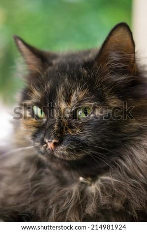Tortoiseshell cat close up - stock photo