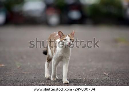 Tortoiseshell cat walking on street in urban. - stock photo