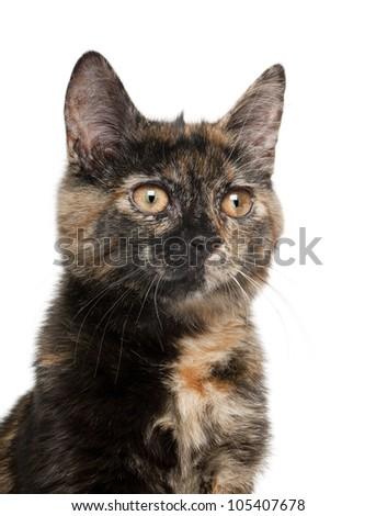 Tortoiseshell kitten against white background - stock photo
