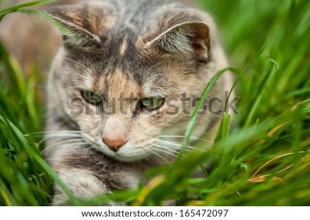 Tortoiseshell-tabby cat playing in long green and yellow grass