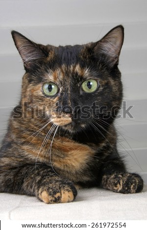 Tortoiseshell Tabby Cat sitting with paws on the table, waiting for food - stock photo