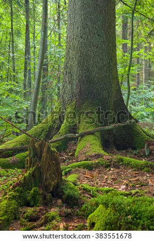 Total declined spruce log wrapped by moss in foreground and old one in background at summer forest,Bialowieza Forest,Poland,Europe