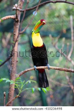 Toucan bird with a nut in its beak sitting on a branch Toucans with their huge beak look like they were drawn by a child. These curious birds and-wives - some of the most noisy in the jungle. - stock photo