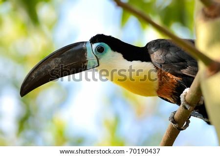 toucan outdoor - Ramphastos toco - stock photo