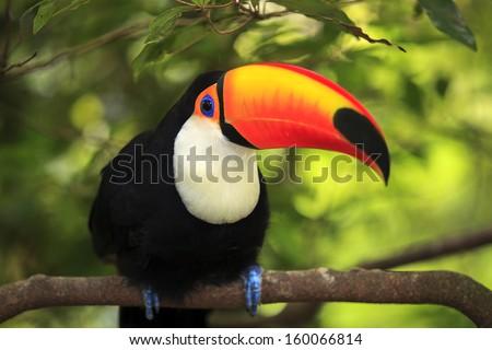Toucan (Ramphastos toco) - stock photo