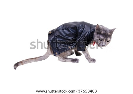 Tough cat shown by a colorful cat wearing a leather jacket with a tough expression - path included - stock photo