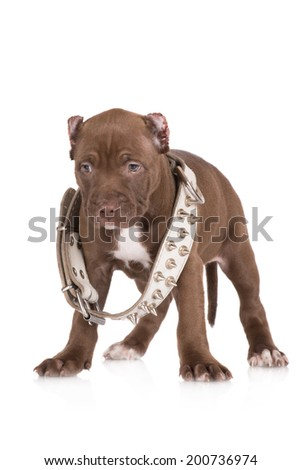 tough pit bull puppy in a collar with spikes