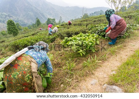 Tour of Makai Bari Tea Estate - stock photo