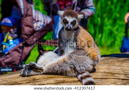 tourist are passing by ring-tailed lemur (lemur catta) in an open enclosure in the zoo of prague
