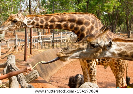 Tourist feeding a giraffe at the zoo. Korat zoo Thailand - stock photo