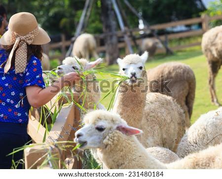 tourist feeding green ruzi grass leaves to llama alpacas in setting animals farm ,alpacas show lower tooth  - stock photo