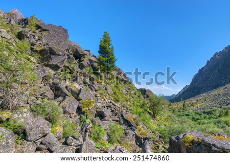 Tourist looking at the Siberian pine growing on the stone slope. Eastern Sayan - stock photo