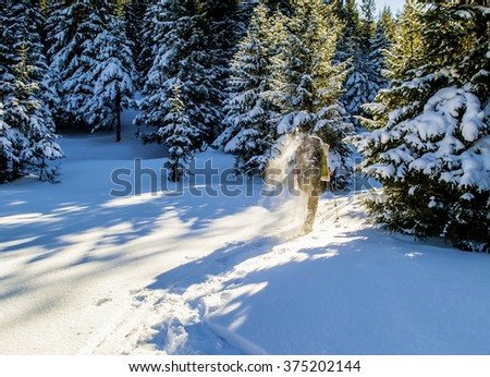 Tourist walking on snow and raises snow dust. Winter hiking. Sunlight. Long shadows. Forest - stock photo