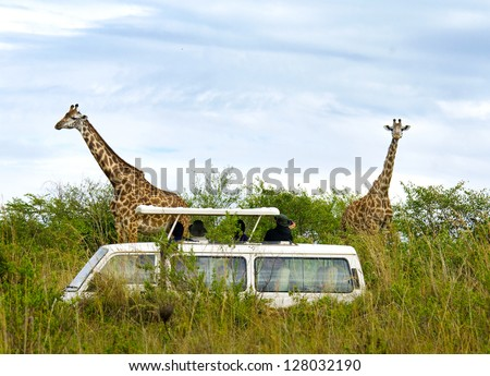Tourists on safari take pictures of giraffes in Masai Mara National Park - Kenya - stock photo