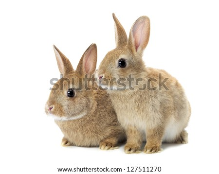 Tow cute golden rabbits sitting on white background. - stock photo