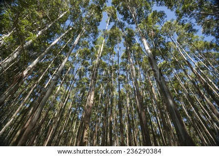 Towering and converging trees on the Hamakua Coast,  Hawaii eucalyptus trees. - stock photo
