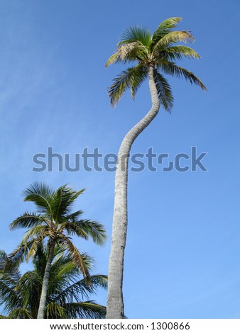 TOWERING PALM - stock photo