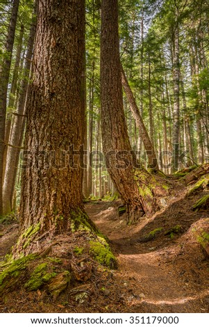 Towering trees on the High Divide/Seven Lakes Trail, in Olympic National Park, near Port Angeles, Washington.