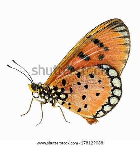 ... butterfly isolate on white background.(Acraea violae) - stock photo