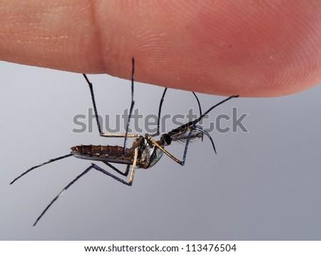 Toxorhyncites splendens mosquito on human. - stock photo