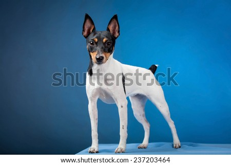Toy fox terrier - stock photo