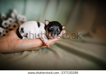 Toy fox terrier puppy ,studio portrait small dog on a color background - stock photo