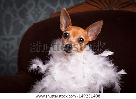 Toy fox terrier wrapped in a feather boa in a studio portrait.