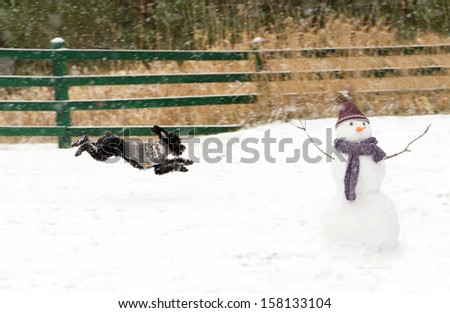 Toy poodle pup zooms excitedly out into the snow,  happy to see the new snowman in his yard. - stock photo
