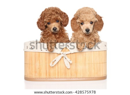 Toy poodle puppies in basket isolated on white background - stock photo