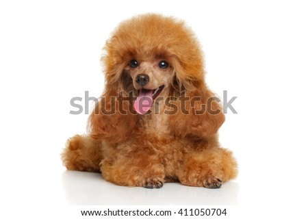 Toy Poodle puppy lying down on a white background - stock photo
