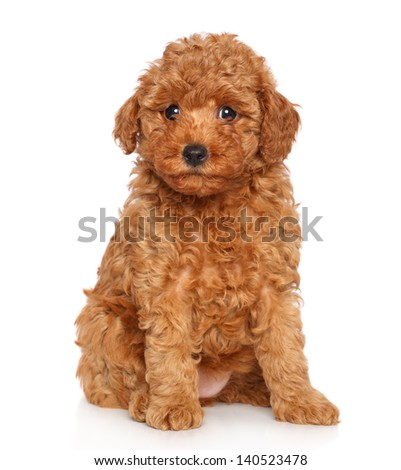Toy poodle puppy. Portrait on a white background - stock photo