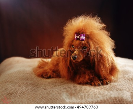 toy poodle red