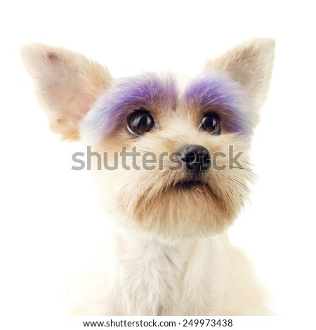 Toy Poodle with Painted Eyebrows - stock photo