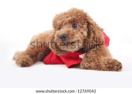 Toy poodle with puppy cut in large red T-shirt