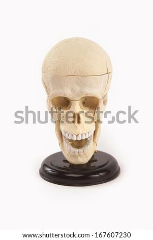 toy skull visual aid - stock photo