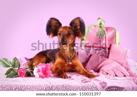 toy terrier dog