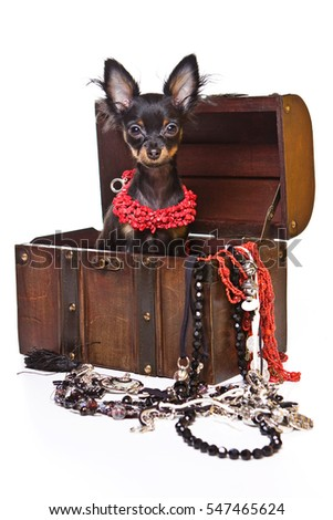Toy Terrier dog and a chest of beads (isolated on white)