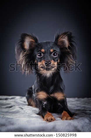 toy terrier dog, furry ears, beautiful light